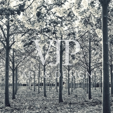 _blossomtrees1