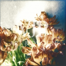 _tulips1